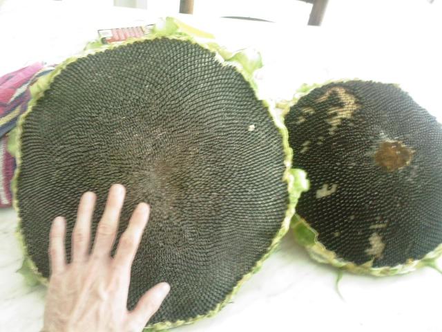 planter des graines de tournesol 4 semis de tournesols planter des graines de tournesol. Black Bedroom Furniture Sets. Home Design Ideas